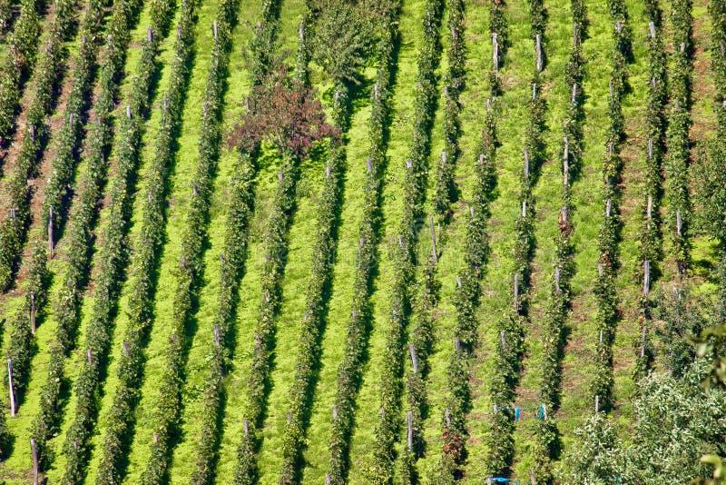 Sikt för vingård för grön kulle flyg- fotografering för bildbyråer