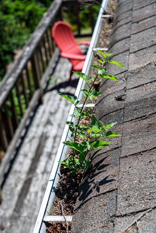 Sikt från tak av den asfalttaksinglar och avloppsrännan som fylls med trädskräp och ett nytt träd som växer i avloppsrännan, däck royaltyfri foto