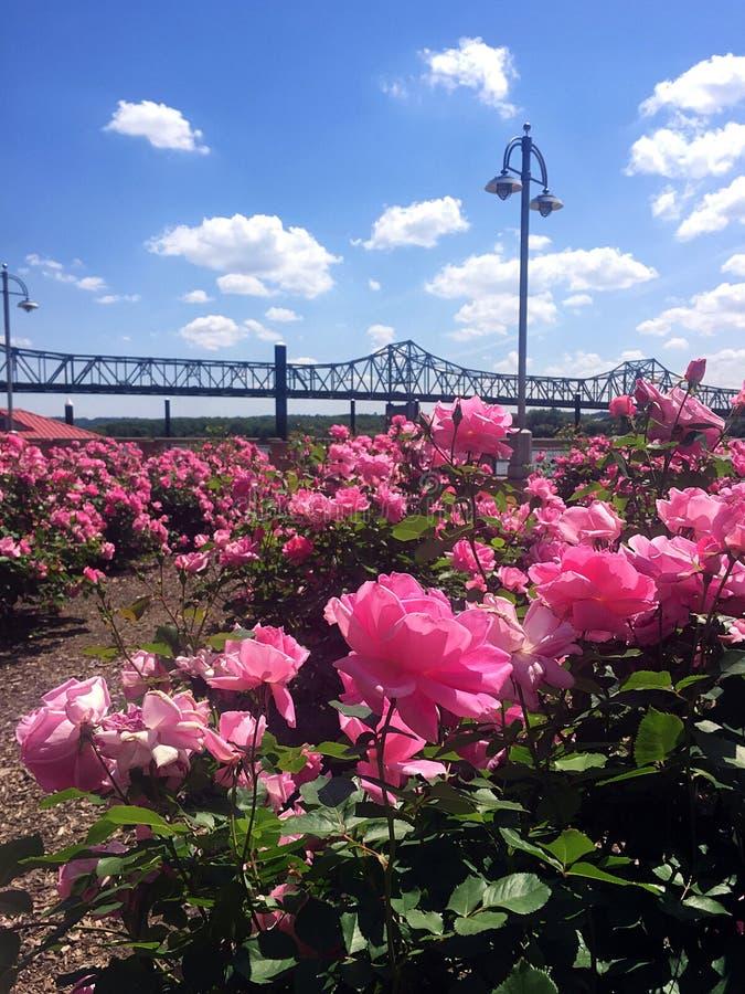 Sikt från trädgårds- se för rosa färgros ut på stålbron över den Illinois floden royaltyfria bilder