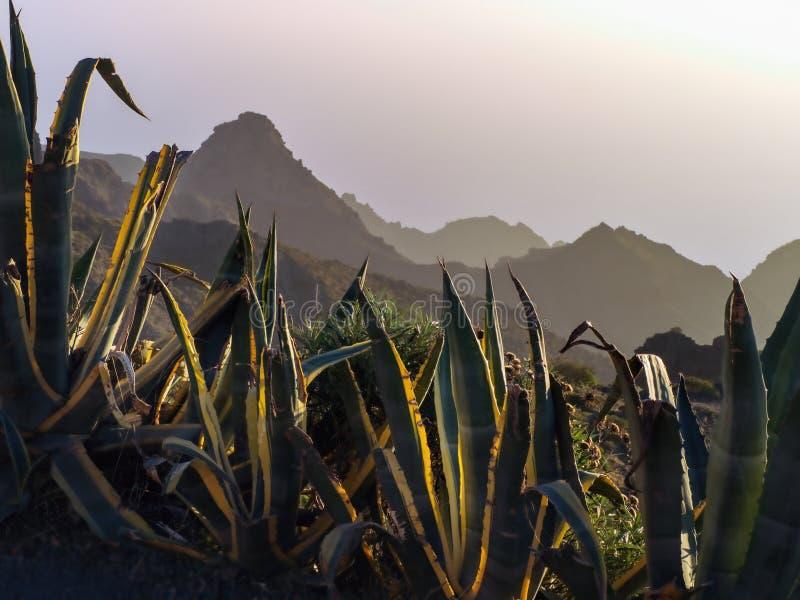 Sikt in i de Masca bergen på tenerife på skymning i de stora agavesna för förgrund royaltyfri fotografi