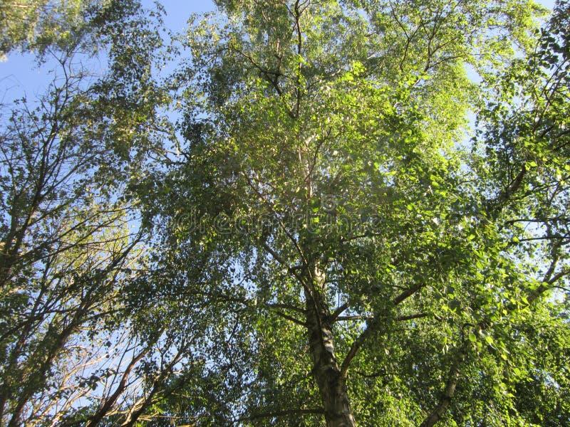 Sikt i ett träd i solskenet i Juni III arkivfoton