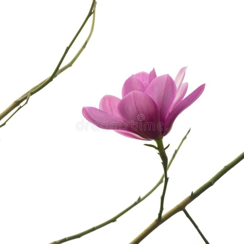 Sikt på en enkel härlig ny rosa magnoliablomma på en kal filial som isoleras mot vit bakgrund arkivbild