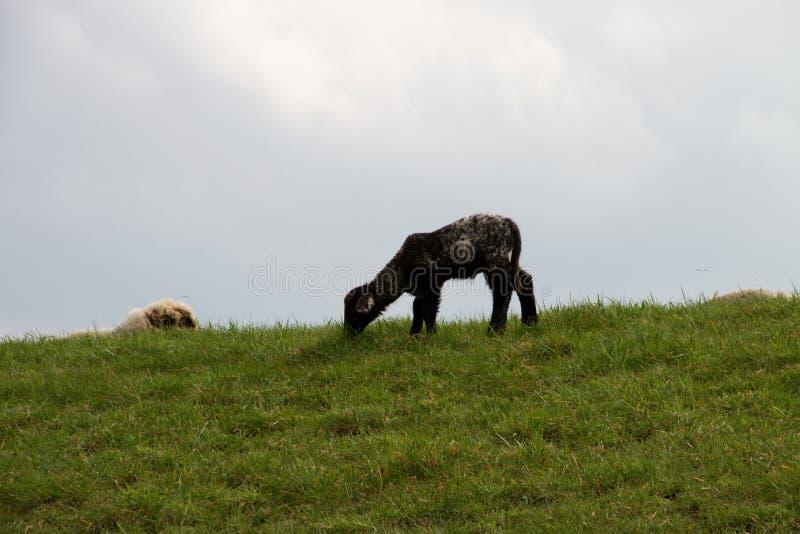 Sikt p? ett svart lamm p? ett gr?somr?de under molnig himmel i rhedeems-emsland Tyskland royaltyfri fotografi