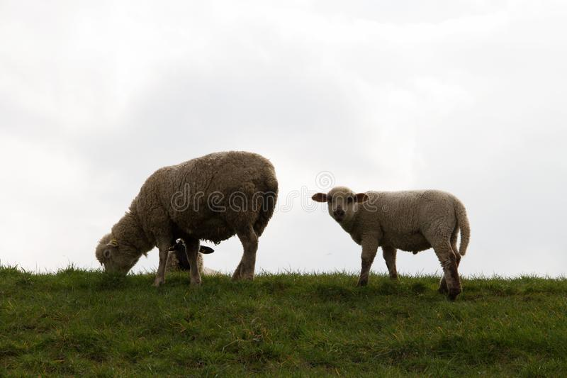 Sikt på ett vitt lamm som ser direkt i kameran i rhedeemsland Tyskland royaltyfri bild
