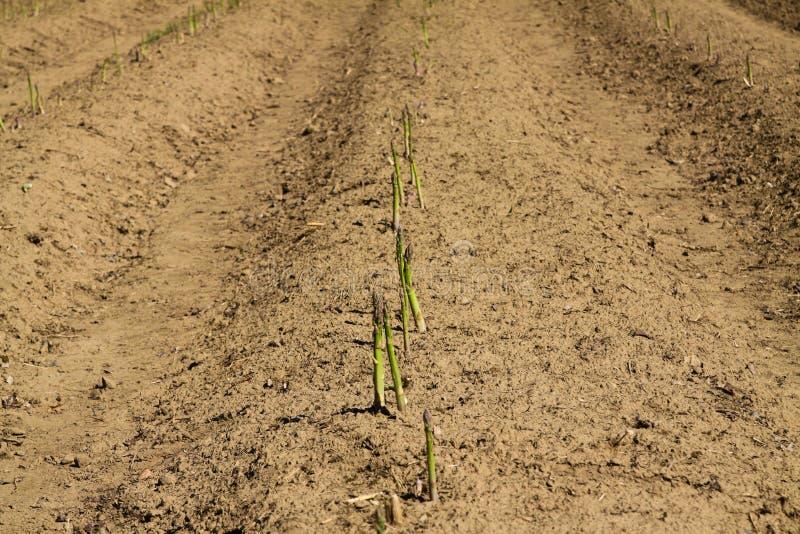 Sikt på fält med gröna mogna nya sparrisspjut som är klara för skörd - Nederländerna nära Venlo royaltyfria foton