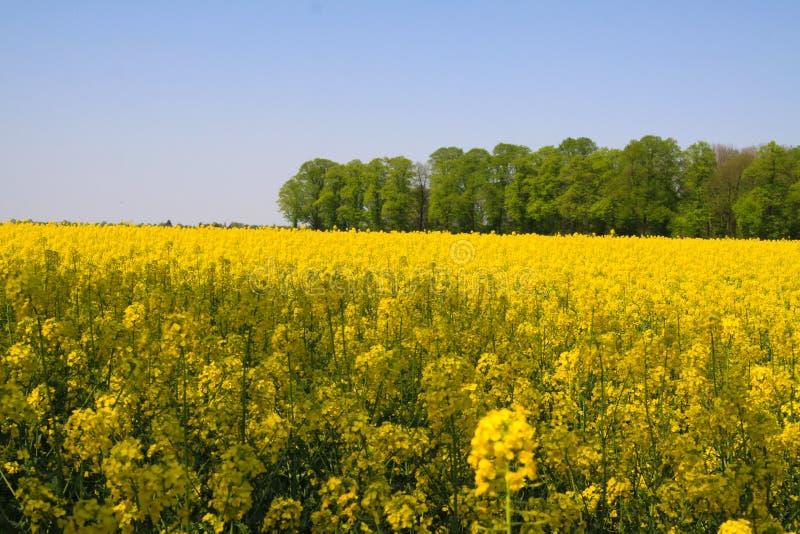 Sikt på gult rapsfröfält med gröna träd i holländskt lantligt landskap i vår nära Nijmegen - Nederländerna royaltyfri fotografi