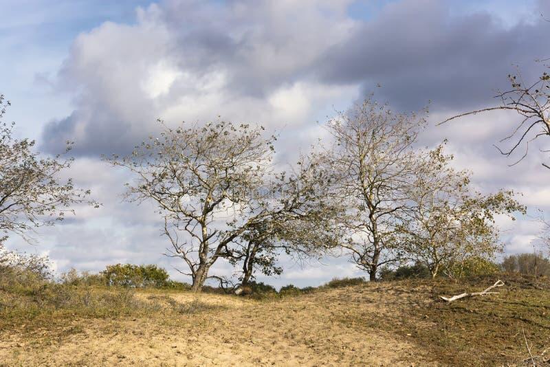 Sikt på träd som låter deras sista sidor gå Dessa träd är i området av Waterleidingduinenen royaltyfria bilder
