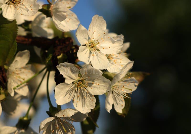 Sikt på vita kronblad med himmel och mörkerbakgrund Blomning av plommonträdet i vår trädgård royaltyfri bild