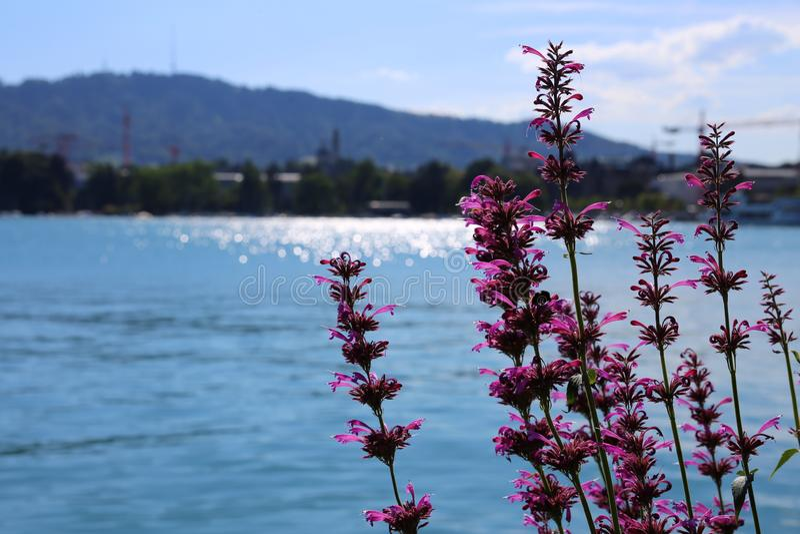 Sikt till ¼ för sjö som ZÃ är rik med någon ursnygg purpurfärgad blomma royaltyfria foton