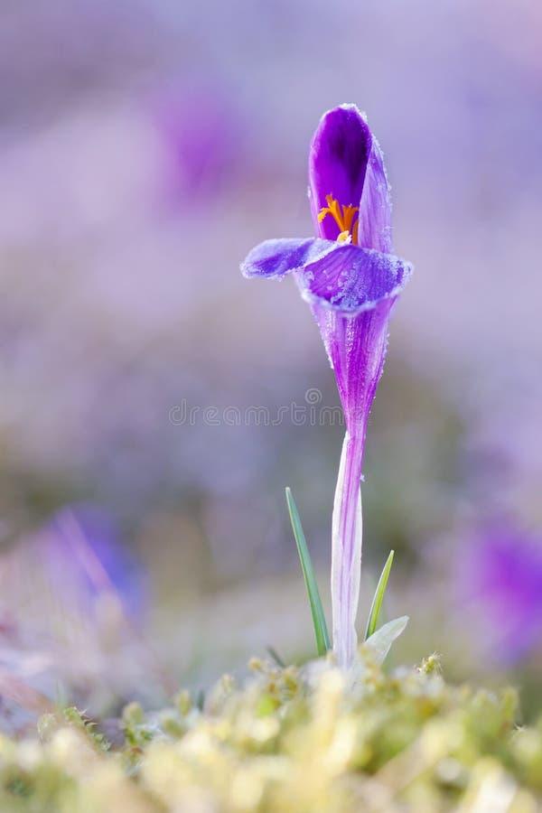 Sikten av den magiska blommande våren blommar krokus som växer från freshgrass i djurliv Härligt makrofoto av wildgrowing krokus royaltyfri foto