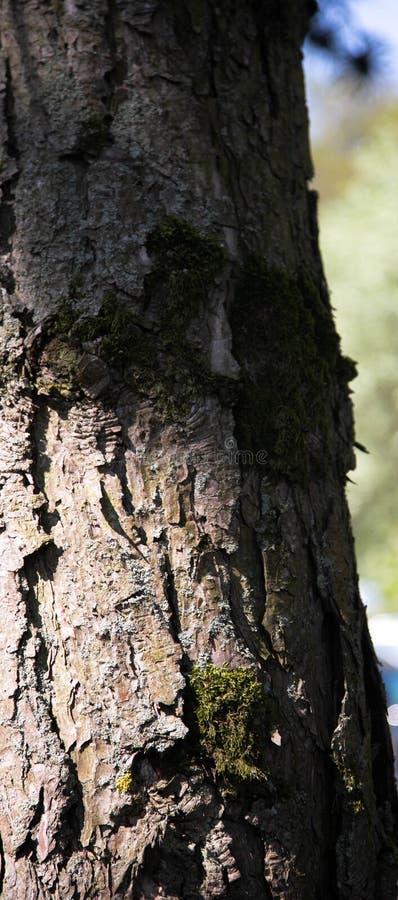 Sikten av en gammal trädstam i vår i parkerar Trätextur- och bakgrundsfotoet fotografering för bildbyråer