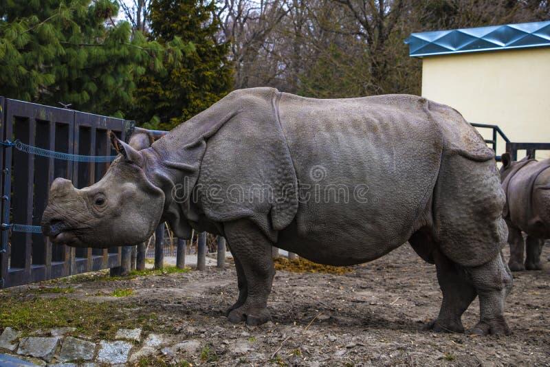 Sikten av en stor noshörning i parkerar för går royaltyfri bild