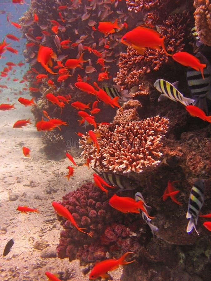 Sikten av korallerna, den Twobar seabreamen och Anthias fiskar i Röda havet royaltyfri foto