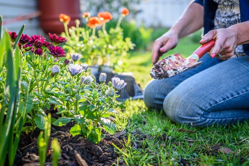 Sikten av kvinnan som knäfaller i gräs som planterar blommor nära, inhyser royaltyfri bild