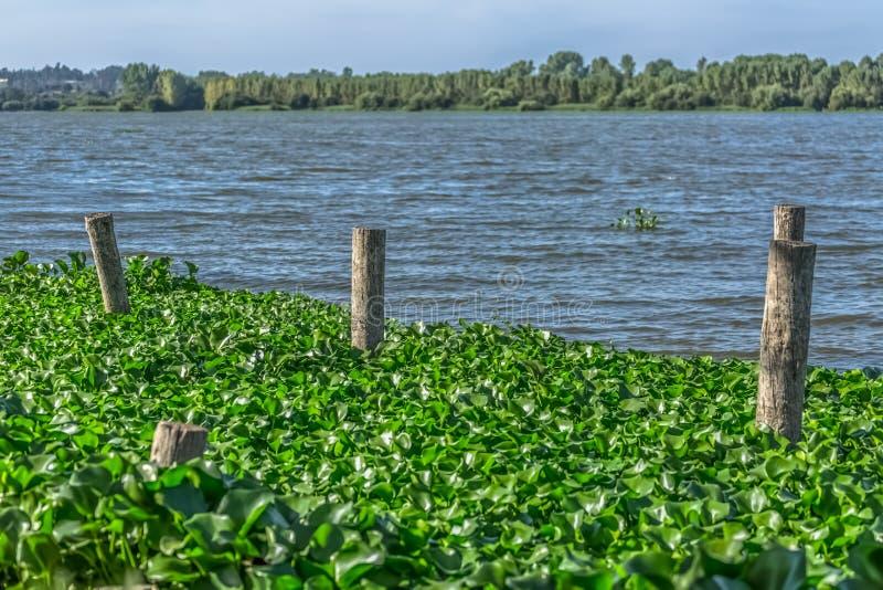 Sikten av sjön med gemensamma vattenhyacinter, på banken, insatser gjorde av träjournaler royaltyfri fotografi