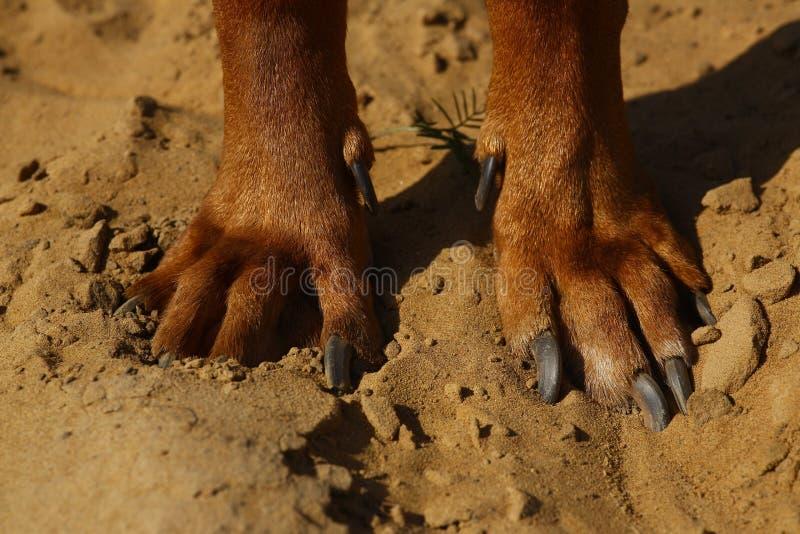 Sikten fr?n ?ver p? den rhodesian ridgebackhunden tafsar p? en sandjordning arkivfoton