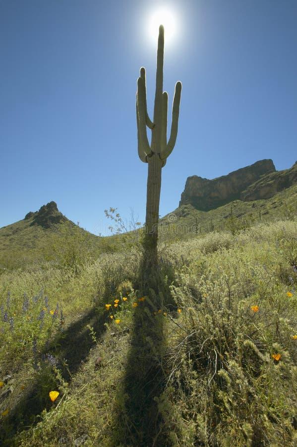 Sikten in mot solen av en saguarokaktus och backeberg i vårblom med vallmo i förgrund på Picacho når en höjdpunkt delstatsparken royaltyfri foto