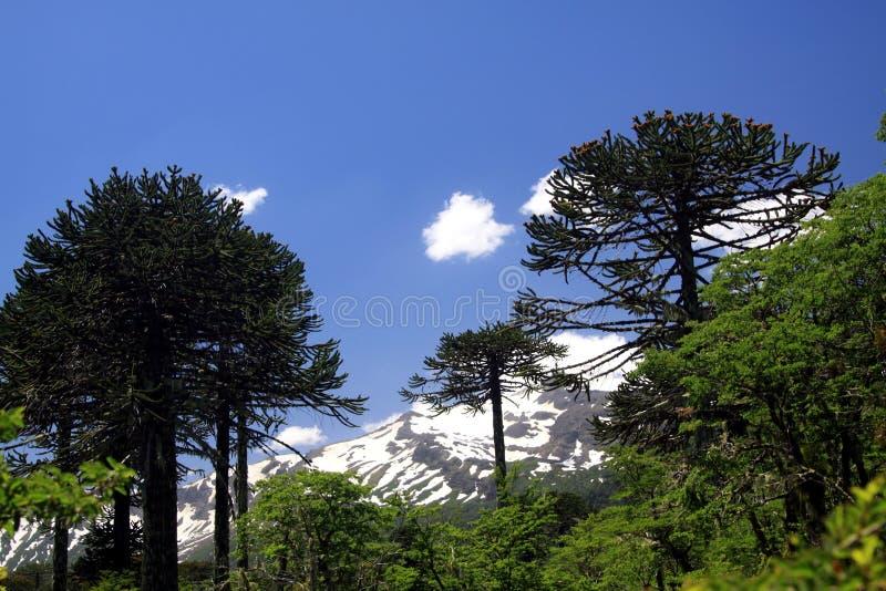 Sikten på korkad svart kotte för snö av Volcano Llaima på Conguillio i centrala Chile som inramas vid, sörjer trädAraucariaarauca arkivfoto