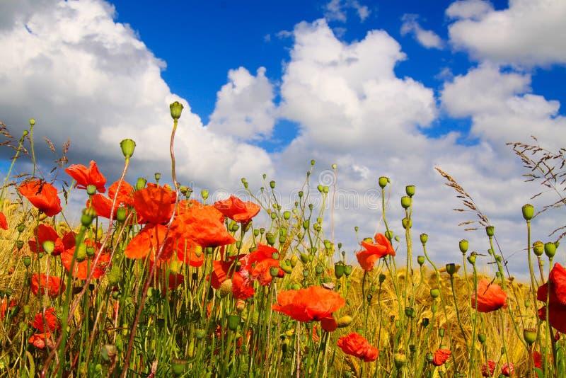 Sikten på korngräsfält i sommar med den röda havrevallmo blommar Papaverrhoeas mot blå himmel med spridda stackmolnmoln royaltyfri foto