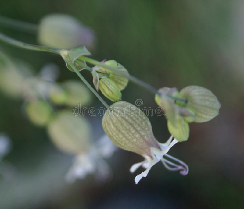 Silène enflée, Silene vulgaris, maidenstears images stock