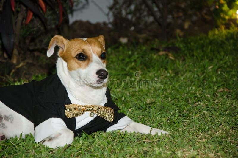 Sila den russell hunden som smartly kläs, hunden med bandet royaltyfria foton