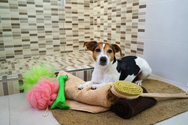 Sila den russell terrierhunden som ligger på filten badrummet med favoritleksaken arkivbild