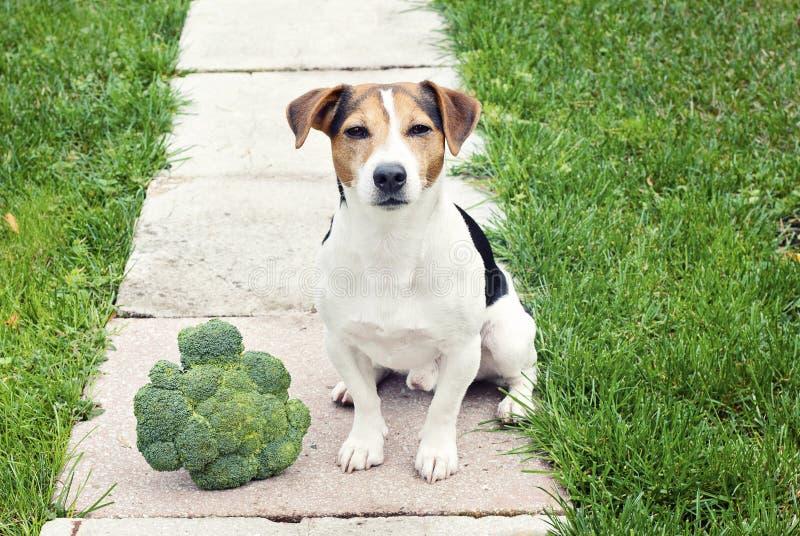 Sila russell Terrier hundsammanträde med utomhus- broccoli arkivfoton