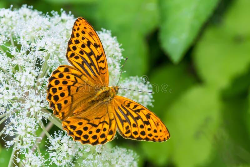 Silber-gewaschener Fritillary Grundältestblume Argynnis paphia Aaegopodium-podagraria stockfotografie