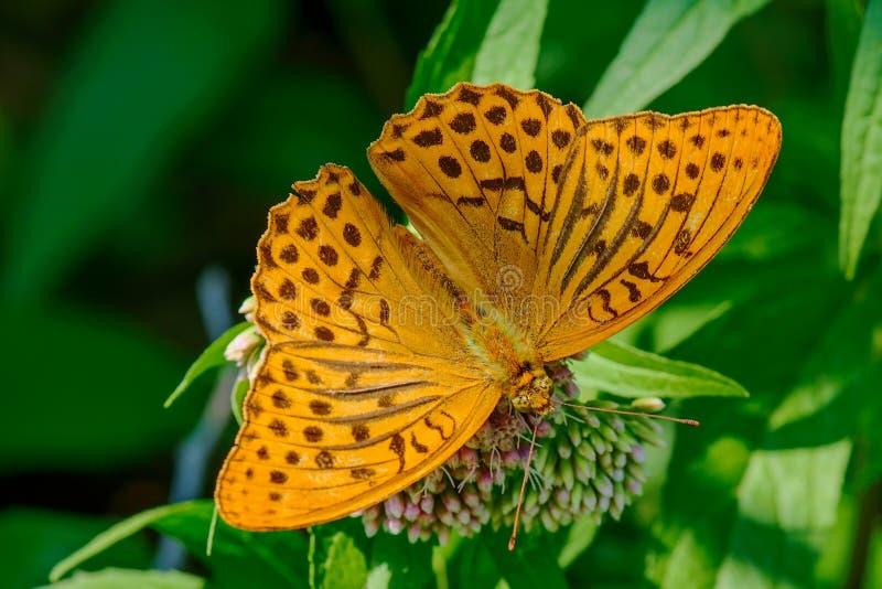 Silber-gewaschenes Fritillary Argynnis paphia, das auf Blume der Distel sitzt lizenzfreie stockbilder