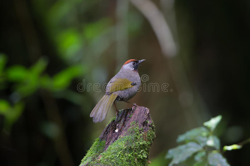 Silber-ohriges Laughingthrush stockbilder