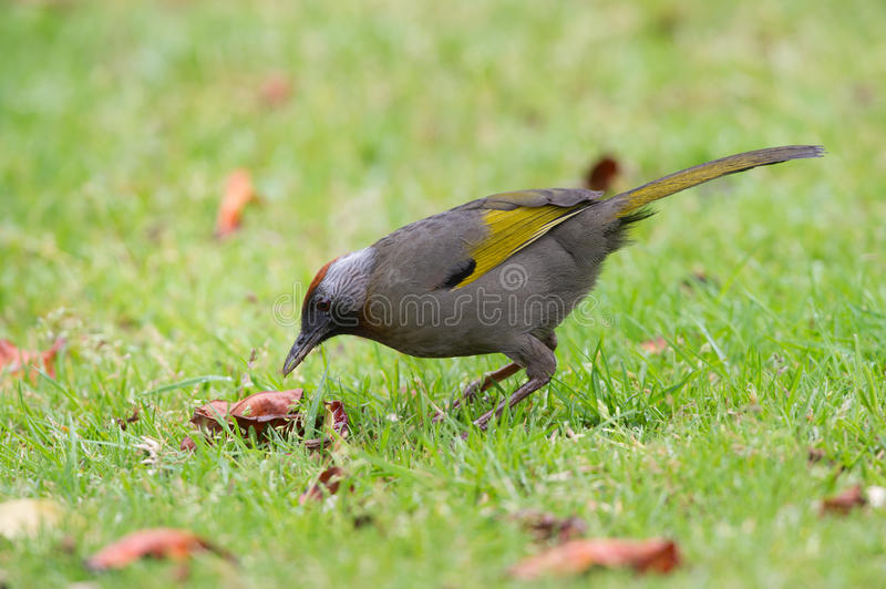 Silber-ohriges Laughingthrush stockfoto