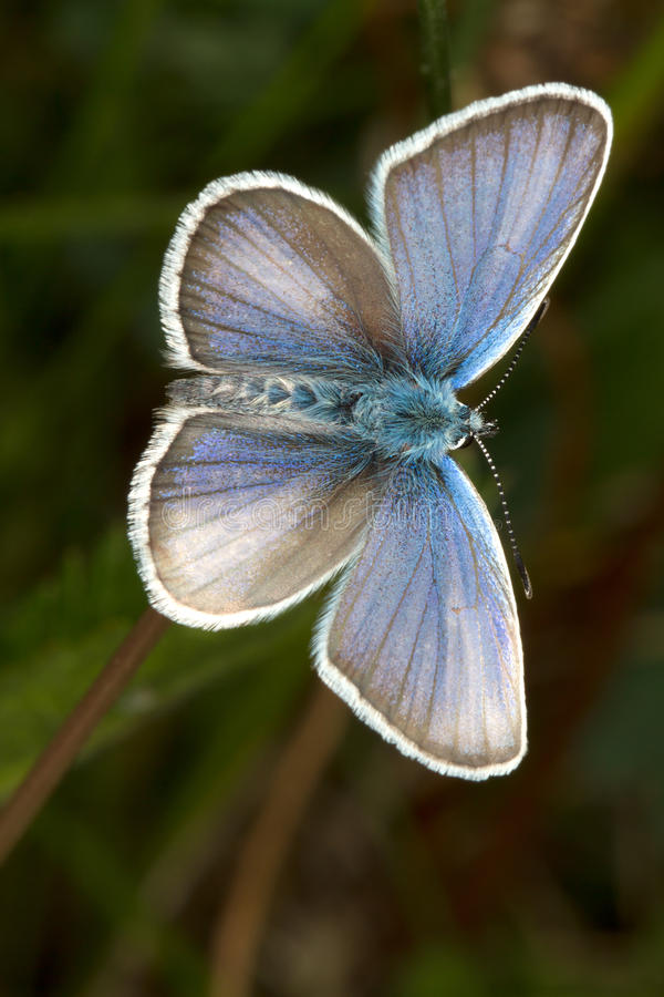 Silber-verzierte blaue (Plebejus Argus) Basisrecheneinheit stockfoto