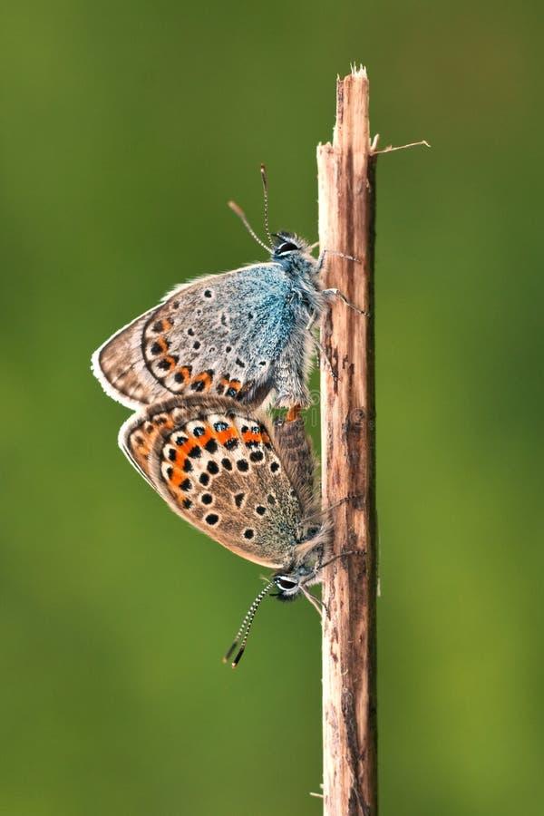 Silber-verziertes Blau (Plebejus Argus) stockfotografie
