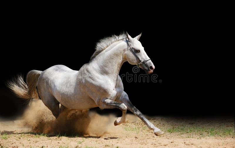 Silber-weißer Stallion im Staub stockfotos