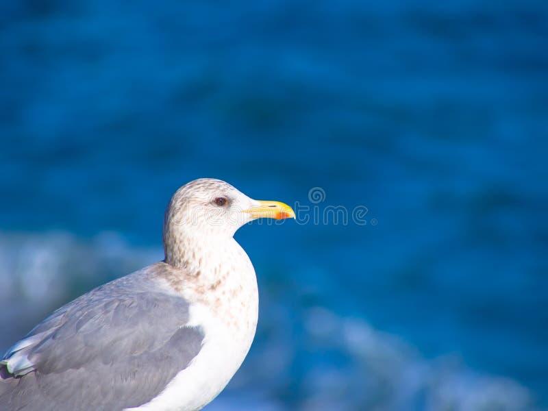 Silbermöwe, die vor blauem Ozean steht stockfoto
