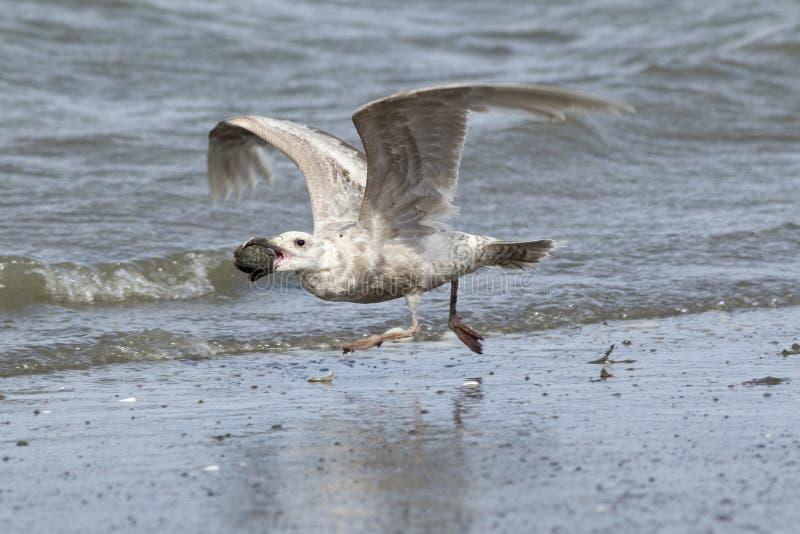 Silbermöwe nimmt Flug auf Damon Point lizenzfreie stockfotografie