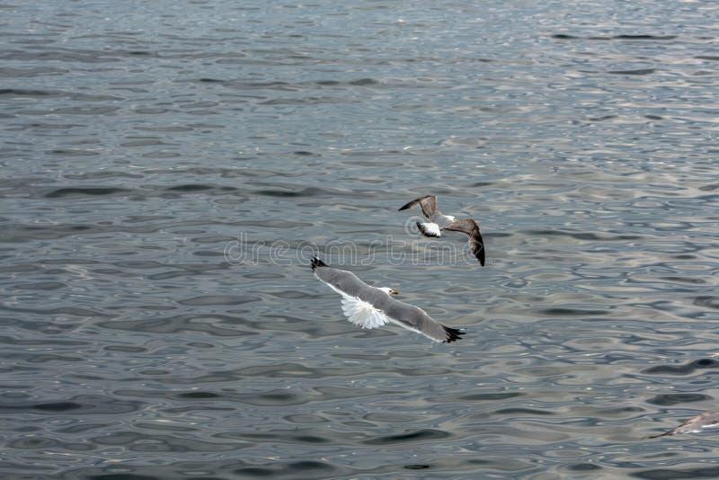 Silbermöwen, die über das Schwarze Meer, Bulgarien fliegen stockfotos