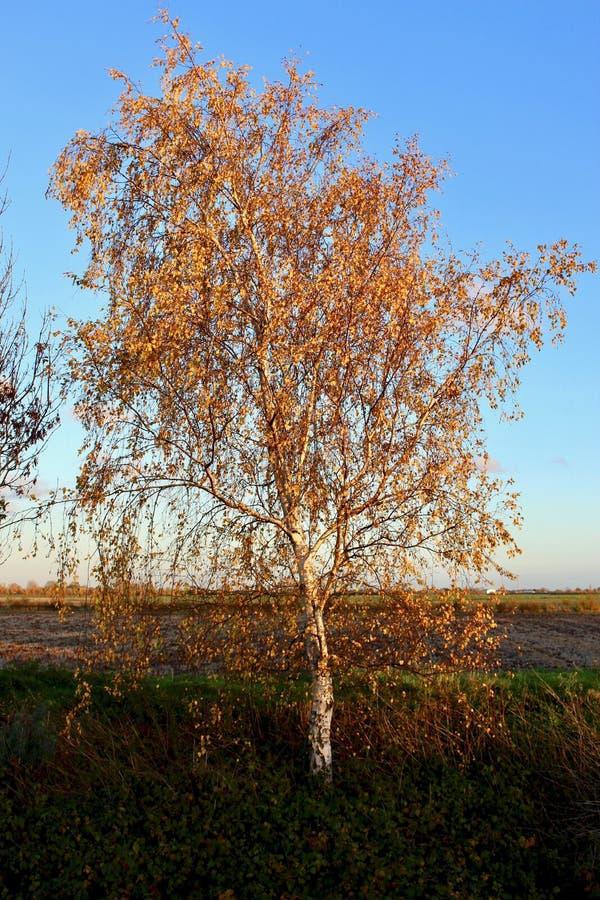 Silberne Birke, die das goldene Glühen der niedrigen Herbstsonne fängt lizenzfreies stockfoto