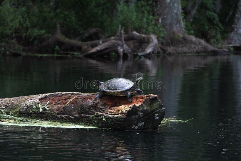 Silberne Fluss-Florida-Schildkröte stockfotografie