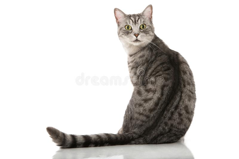 Silberne Katze der getigerten Katze, die auf einem weißen Hintergrund sitzt lizenzfreie stockbilder