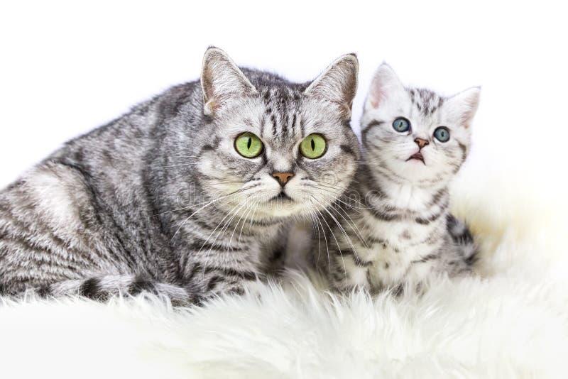 Silberne Katze der getigerten Katze der Mutter mit jungem Kätzchen lizenzfreies stockbild