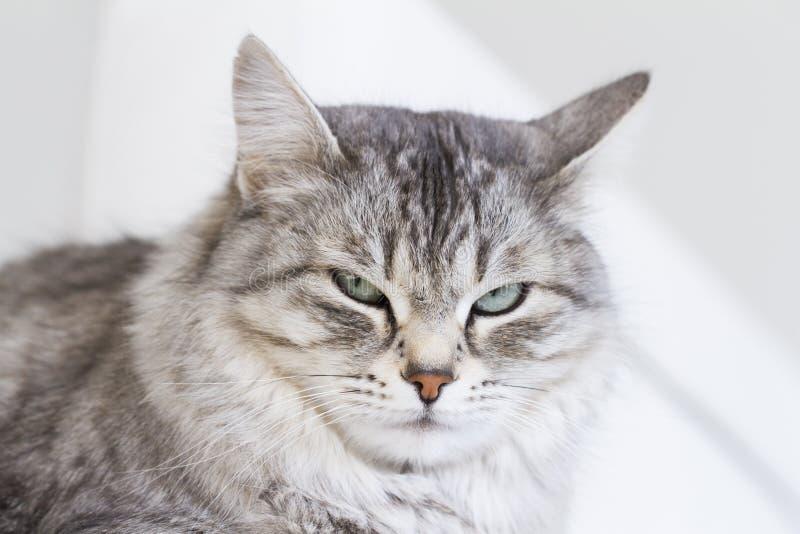 Silberne Katze der sibirischen Zucht, entspannend auf dem Sofa lizenzfreie stockfotografie