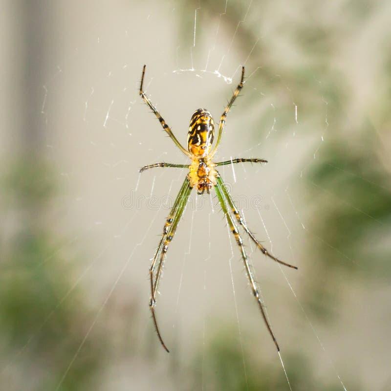 Silberne Kugel Weaver Spider Seen von unterhalb stockfoto