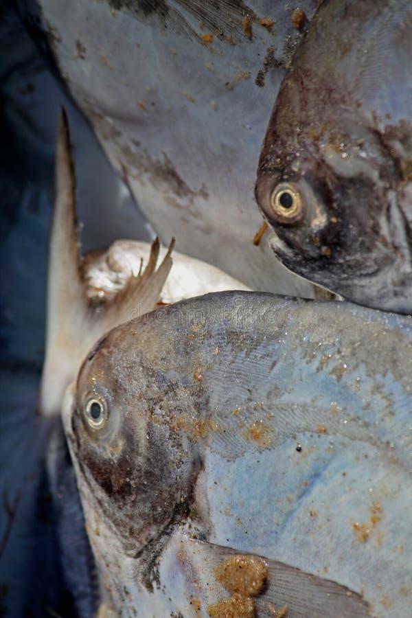 Silberne oder weiße Butterfisch-Fische für Verkauf lizenzfreies stockfoto