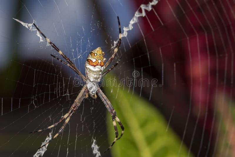 Silberne Spinne im Netzabschluß oben lizenzfreie stockfotografie