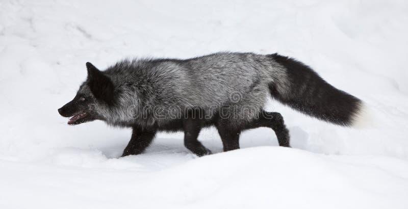 Silberner Fox-Jagd für Nahrung stockbilder