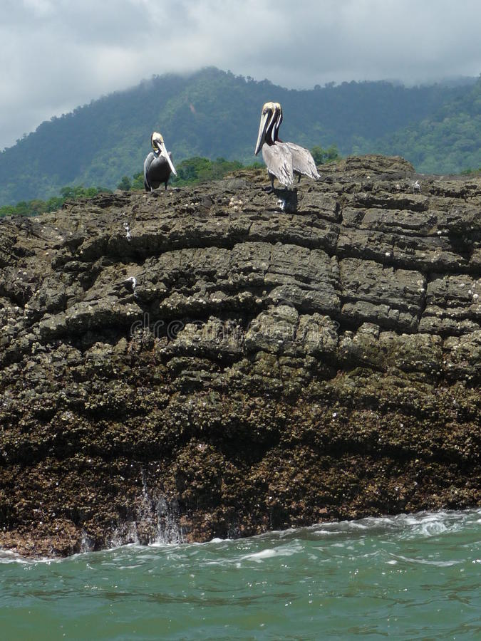 Silberner Pelikan auf den Felsen lizenzfreies stockbild