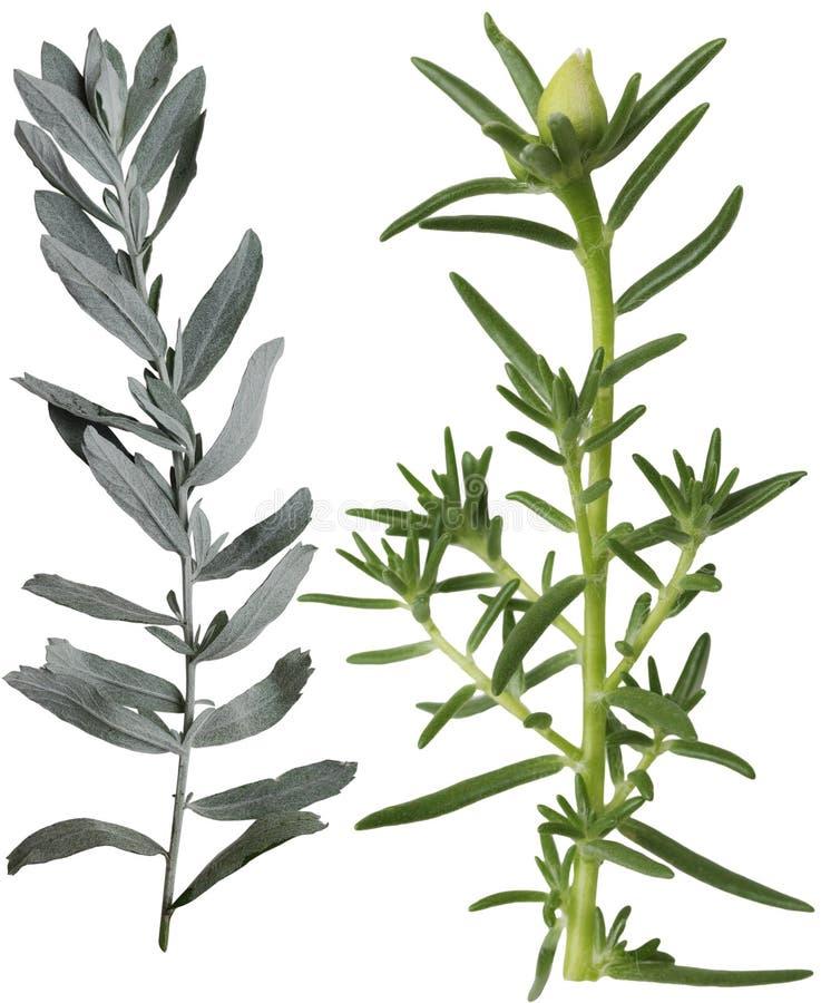 Silberner Salbei und Grandiflorablatt Portulaca stockfotos
