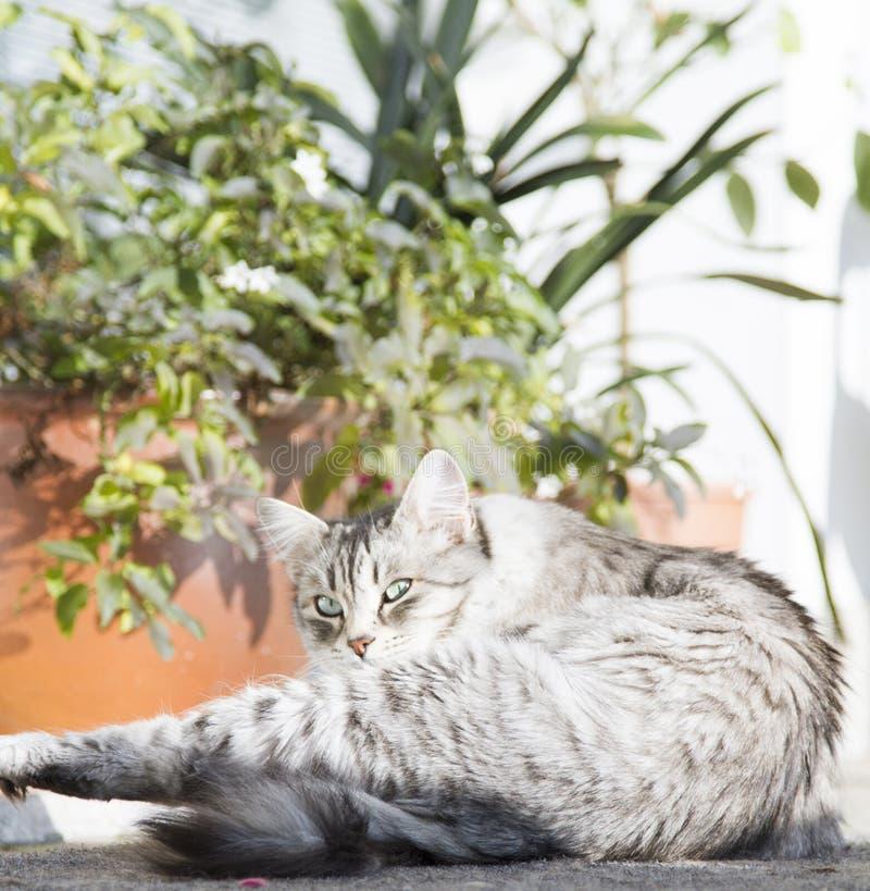 silbernes catb der sibirischen Zucht, leckend im Garten stockbilder