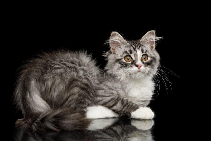Silbernes sibirisches Kätzchen auf lokalisiertem schwarzem Hintergrund lizenzfreies stockbild